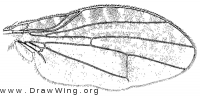 Trypetisoma stictica, wing