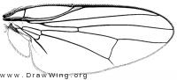 Dasiops alveofrons, wing