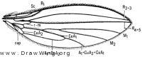 Lonchoptera furcata, wing