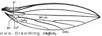 Lonchoptera uniseta, wing