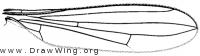 Micropeza lineata, wing