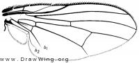 Fannia canicularis, wing