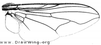 Graphomya idessa, wing