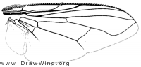 Synthesiomyia nudiseta, wing