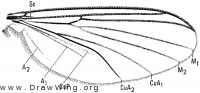 Rymosia triangularis, wing