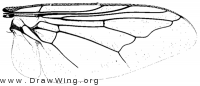 Oestrus ovis, wing