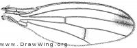 Geomyza lurida, wing