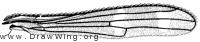 Steneretma laticauda, wing