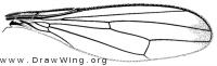 Myrmecothea myrmecoides, wing