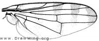 Pseudotephritina cribellum, wing