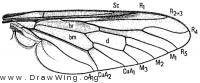 Bequaertomyia jonesi, wing