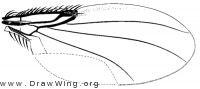 Hypocerides nearcticus, wing