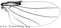 Syneura cocciphila, wing