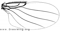 Cataclinusa pachycondylae, wing