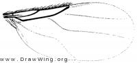 Stenophorina petiolata, wing