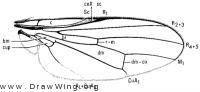 Arctopiophila nigerrima, wing