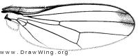 Mycetaulus longipennis, wing