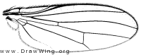 Amphipogon hyperboreus, wing