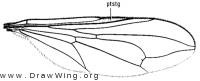 Pipunculus fuscus, wing