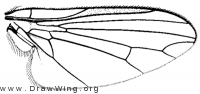 Plesioclythia agarici, wing