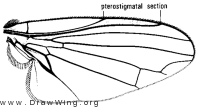 Grossovena carbonaria, wing