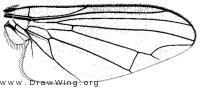 Platypeza consobrina, wing