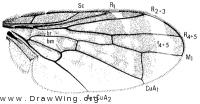 Amphicnephes pullus, wing
