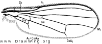 Psila collaris, wing