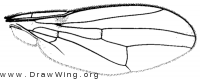 Odontomera ferruginea, wing