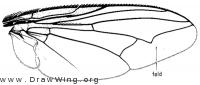 Arachnidomyia aldrichi, wing