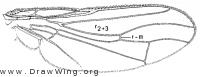 Cordilura ustulata, wing