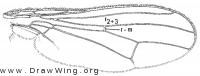 Cordilura pleuritica, wing