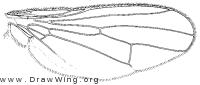 Pogonota sahlbergi, wing
