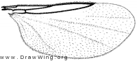 Psectrosciara californica, wing