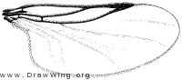 Aspistes, wing