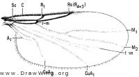 Coboldia fuscipes, wing