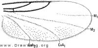 Anapausis soluta, wing