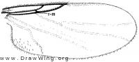 Rhegmoclemina bimaculala, wing