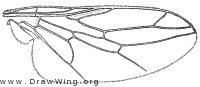 Scenopinus pecki, wing