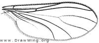 Sciara, wing