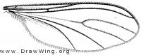 Phytosciara flavipes, wing