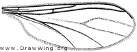 Pseudosciara forceps, wing