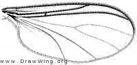 Schwenkfeldina imitans, wing