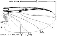 Simulium venustum, wing