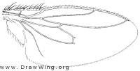 Leptocera fontinalis, wing