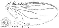 Coproica ferruginata, wing