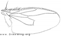 Halidayina spinipennis, wing