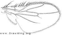 Leptocera nivalis, wing