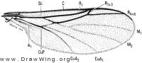Exiliscelis californiensis, wing