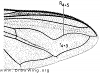 Dideafuscipes, wing